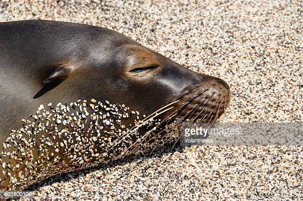 sea lion sleeping on the beach in galapagos islands, ecuador - galapagos islands national park stock photos and pictures
