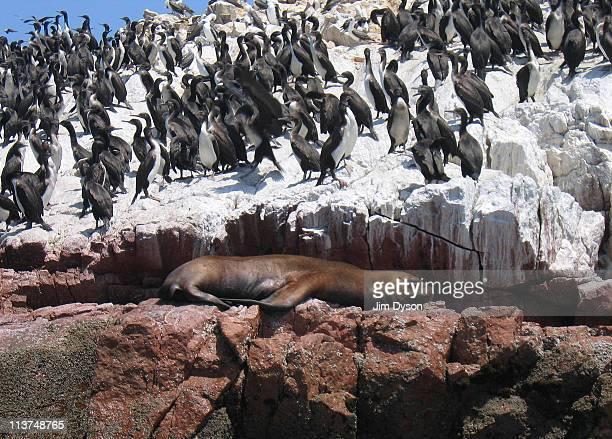 A sea lion sleeps beside a colony of Guanay Cormorants on the Ballestas islands March 8 2005 near Pisco Peru The uninhabited islands are heavily...