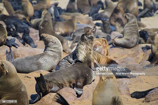sea lion sun baking - erongo stock photos and pictures