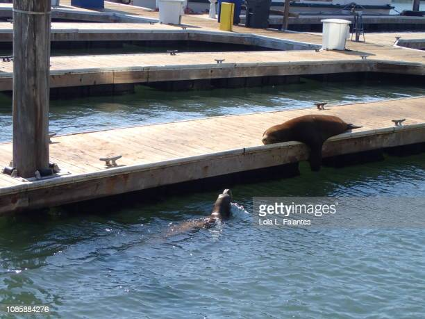 Sea lion sunbathing and a seal swimming in pier 39, San Francisco