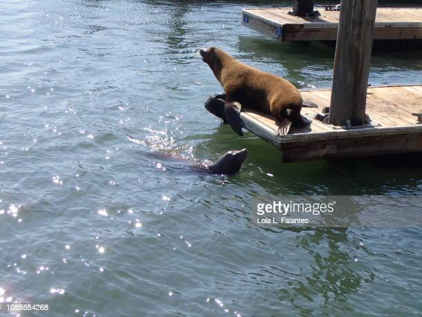 Sea lion sunbathing and a seal swimming. Pier 39, San Francisco