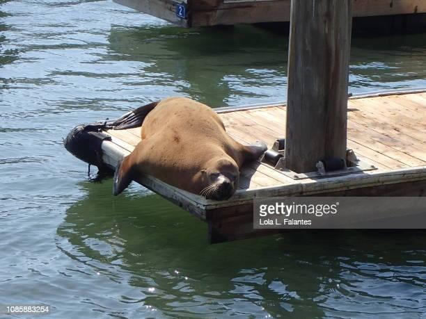 Sea lion sunbathing in pier 39, San Francisco