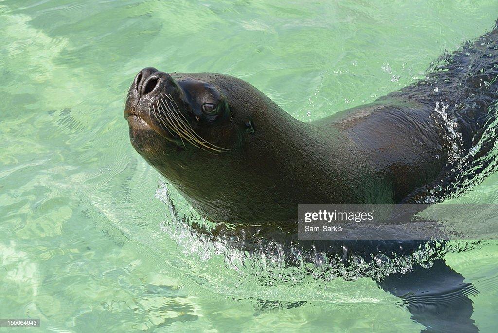 A sea lion swimming in the ocean : Bildbanksbilder