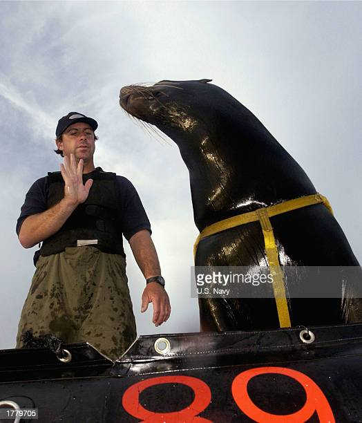 Sea Lion trainer from Space and Naval Warfare Systems Center San Diego works on hand signal commands with Zak a 375pound California sea lion February...
