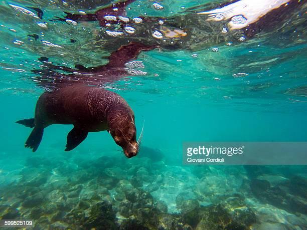 sea lion underwater at galapagos - isla de santa cruz islas galápagos fotografías e imágenes de stock
