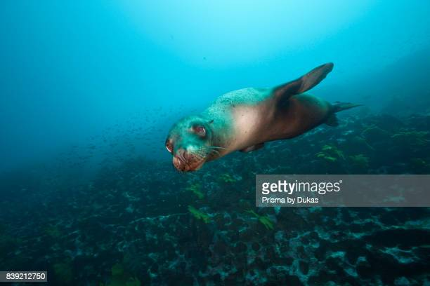 Sea Lion Zalophus wollebaeki Punta Vicente Roca Galapagos Isabela Island Ecuador