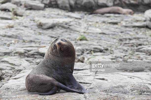 sea lion,kaikoura,south island,newzealand - seal pup stock pictures, royalty-free photos & images