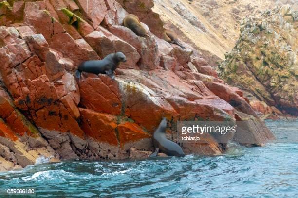 sea lions at ballestas islands, paracas, peru - pisco peru stock photos and pictures
