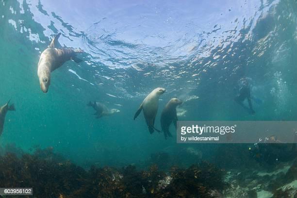 sea lions at play - ilha netuno - fotografias e filmes do acervo