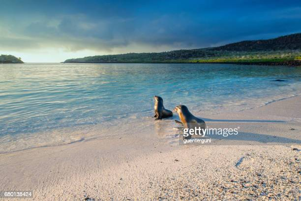 Sea lions (Zalophus wollebaeki) at the Galapagos Islands