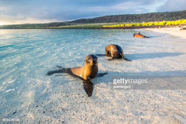 sea lions (zalophus wollebaeki) at the galapagos islands - galapagos islands stock pictures, royalty-free photos & images