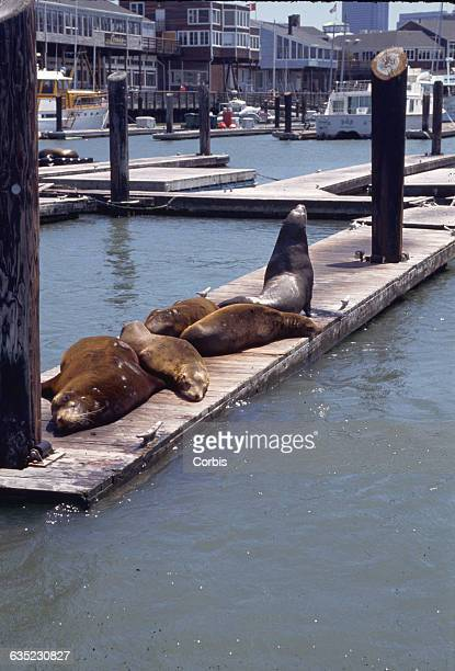 Sea lions bask on a wooden jetty in a marina in San Francisco California