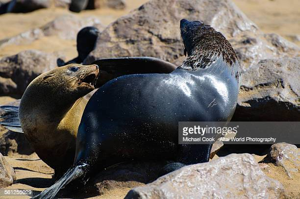sea lions fighting for space - erongo stock photos and pictures