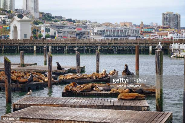 Sea Lions in San Francisco, California