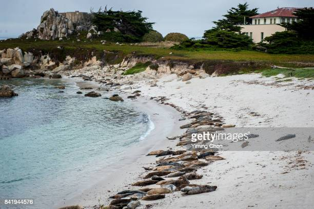 sea lions on monterey bay beach - monterey peninsula stock pictures, royalty-free photos & images