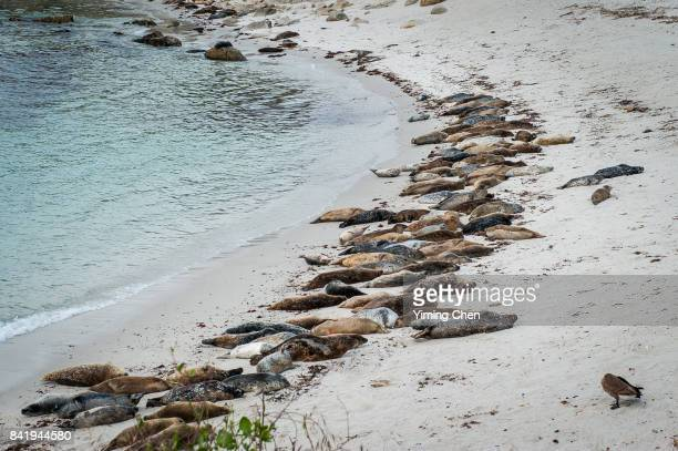 Sea Lions on Monterey Bay Beach