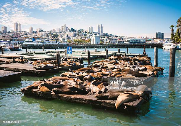 sea lions on pier 39, san francisco, california, usa. - fishermans wharf stock pictures, royalty-free photos & images