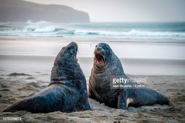 sea lions on the beach, south of dunedin, new zealand - otago region stock pictures, royalty-free photos & images