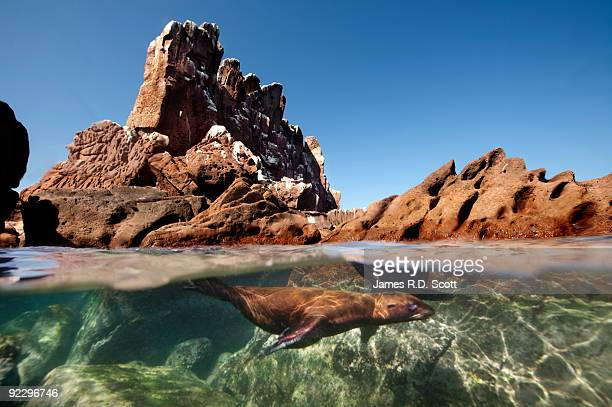 sea lions - sea of cortez stock pictures, royalty-free photos & images