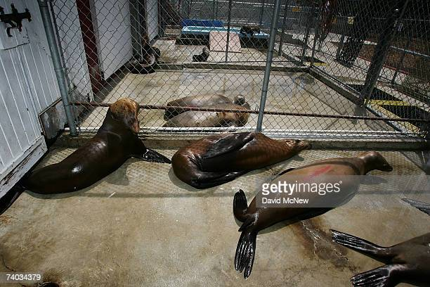 Sea lions poisoned by toxic domoic acid the result of an unusually large bloom of microscopic ocean algae that has sickened and killed California...