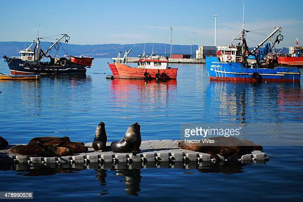 Sea lions rest in the sun at Talcahuano Port in Concepcion host city of 2015 Copa America Chile on June 29 2015 in Concepcion Chile