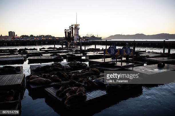 sea lions sleeping - lola reve photos et images de collection
