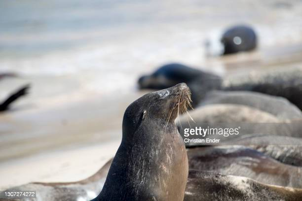 Sea Lions sunbathe at the beach in Santa Fe Island, on February 22 in Galapagos, Ecuador. The male Galapagos Sea Lion can reach a size between 2 and...
