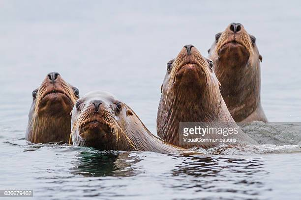 sea lions swimming in pacific ocean. - vancouver island stockfoto's en -beelden