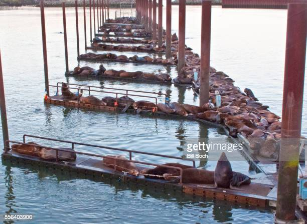 Sea Lions taking over a marina boat dock in the Port of Astoria, Oregon