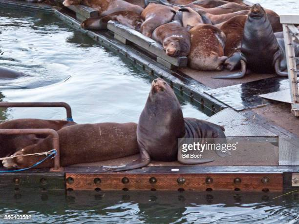 Sea Lions taking over a marina boat dock in the Port of Astoria,Oregon