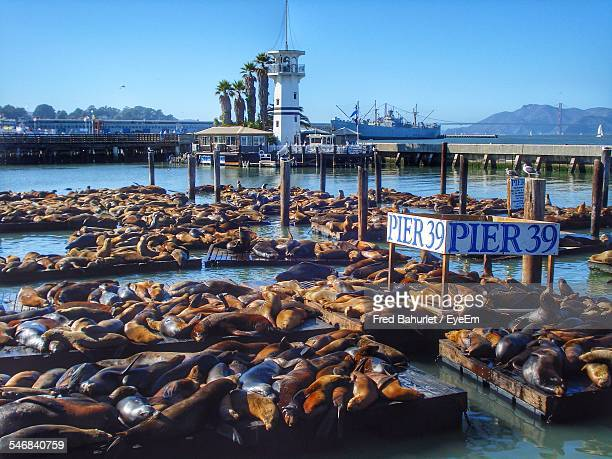 sea loins on pier against clear blue sky - fishermans wharf stock pictures, royalty-free photos & images