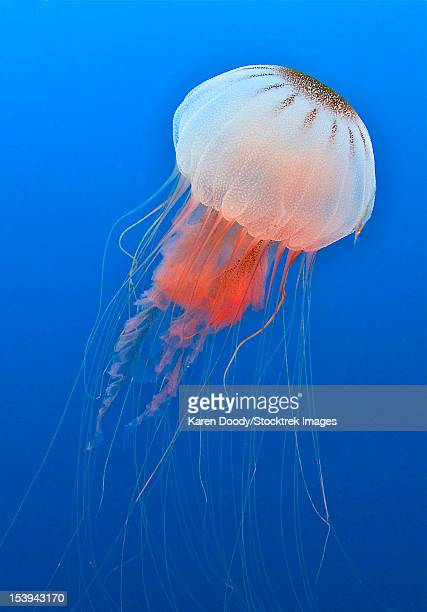 sea nettle is host to a small shrimp in the atlantic ccean off the coast of north carolina. - sea nettle jellyfish stock pictures, royalty-free photos & images