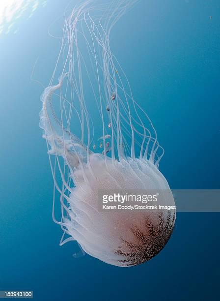 Sea Nettle Jellyfish in Atlantic Ocean.