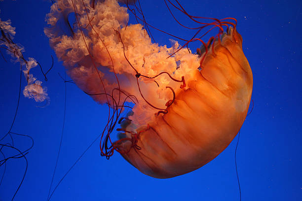 Sea Nettle Jellyfish. Wall Art