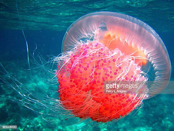 sea nettle jellyfish  - sea nettle jellyfish stock pictures, royalty-free photos & images