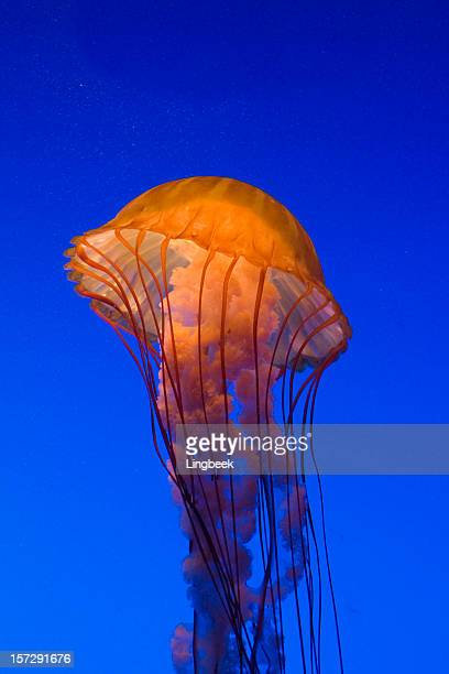 sea nettle - phosphorescence stock pictures, royalty-free photos & images