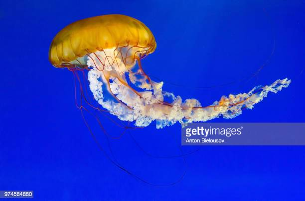 sea nettle - sea nettle jellyfish stock pictures, royalty-free photos & images