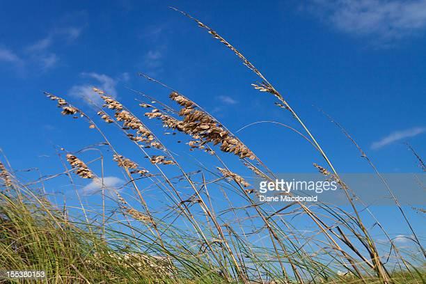 Sea oats against a blue sky