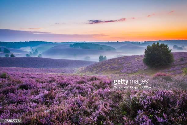 sea of purple posbank the netherlands - posbank ストックフォトと画像