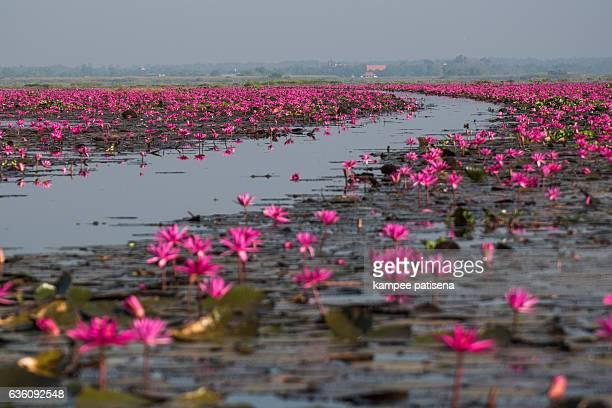 sea of red lotus lake, Thailand
