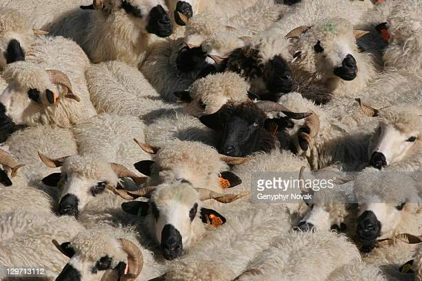 Sea of sheep with one black sheep