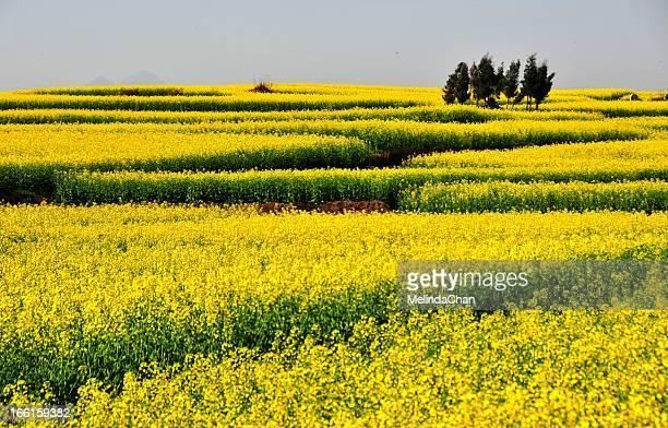 Sea of yellow rapeseed flowers