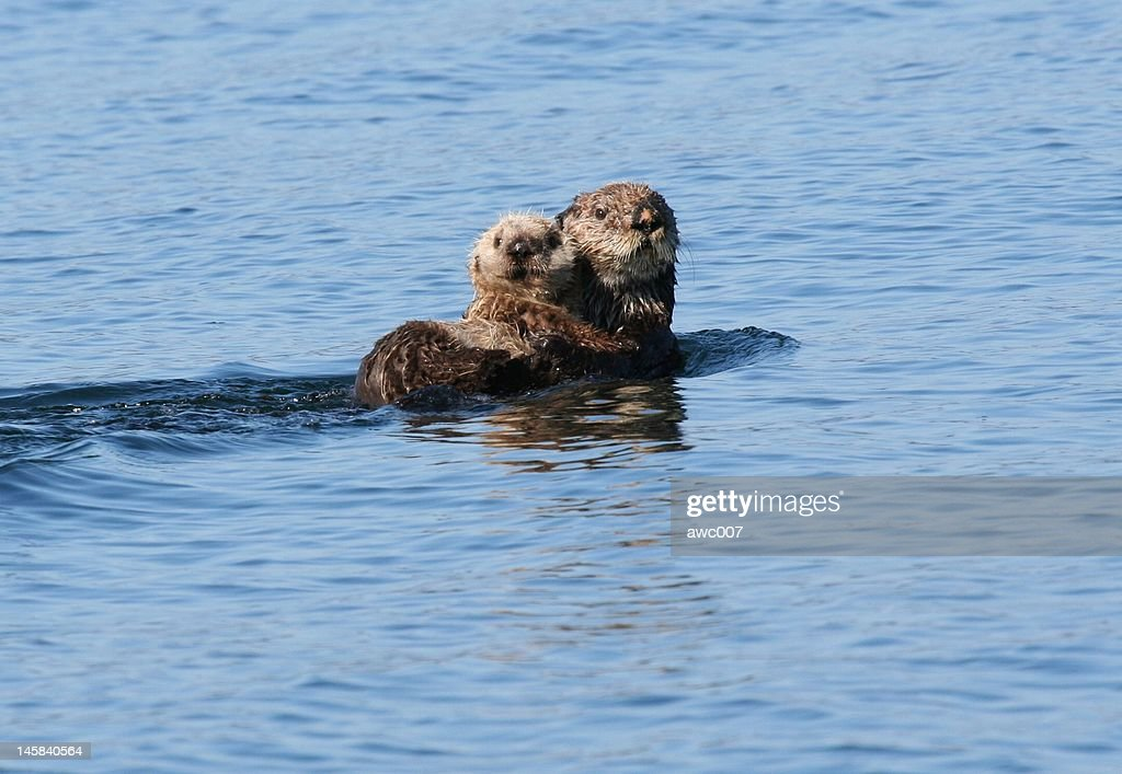 Sea otter and baby lounging in the blue Alaska waters : Stock Photo