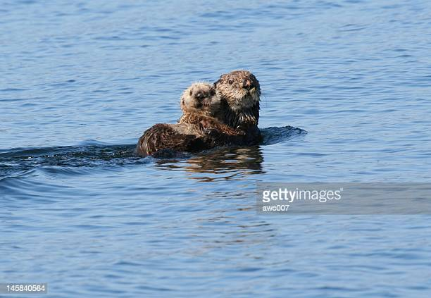 sea otter and baby lounging in the blue alaska waters - sea otter stock photos and pictures
