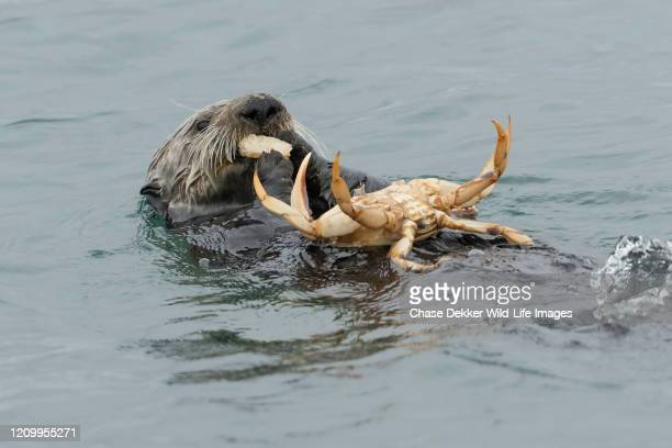 sea otter and crab - crab stock pictures, royalty-free photos & images