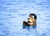Sea Otter at Play in Morro Bay