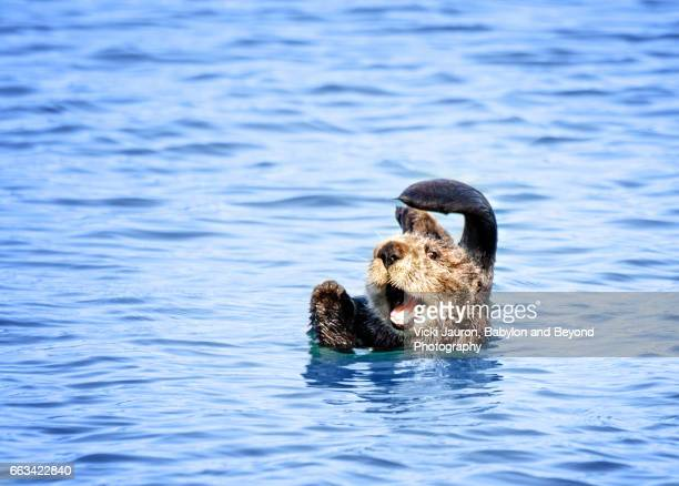 sea otter at play in morro bay - lontra imagens e fotografias de stock