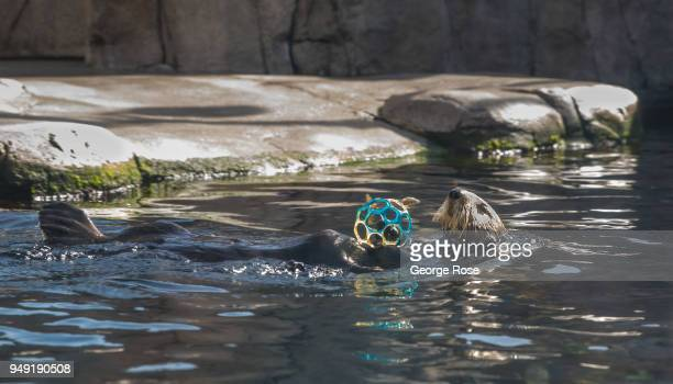 A sea otter at the Monterey Bay Aquarium located at Cannery Row two hours south of San Francisco swims in a tank with fish hidden in a ball on April...