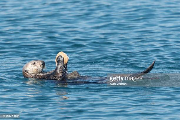 sea otter breaking open a clam - sea otter stock photos and pictures