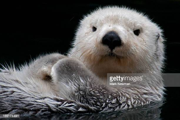 sea otter, closeup, face - sea otter stock photos and pictures